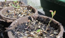 didiscus blue lace seedling, cottage garden blog
