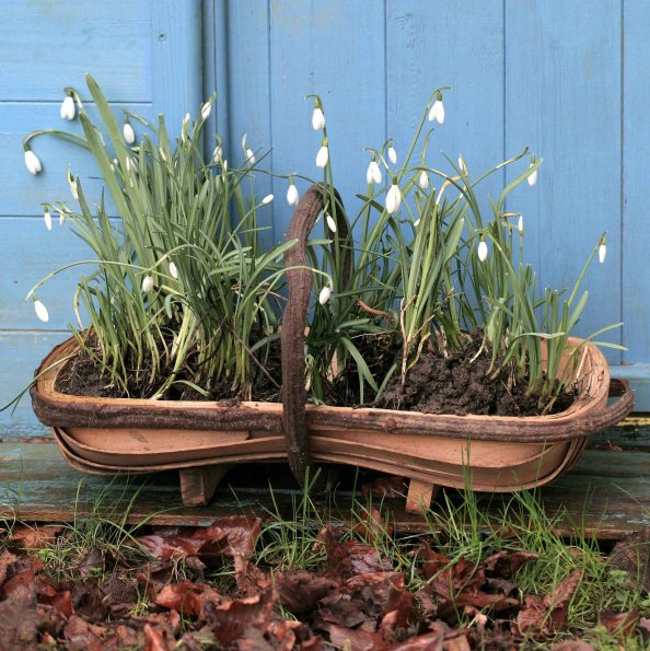 snow drops in the green, gardening blog, cottage garden