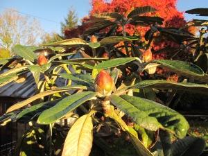 rhododendron, gardening blog, cottage garden