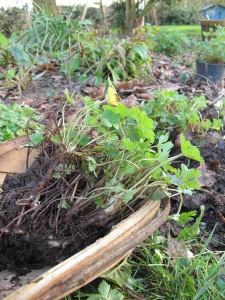 splitting geraniums, cottage garden, gardening blog