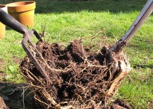 splitting perennials, gardening blog