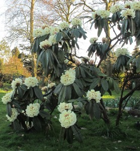 rhododendron, cottage garden, gardening blog