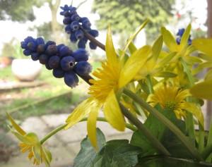 aconite muscari cottage garden gardening blo