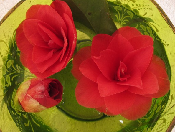 red camellia floating