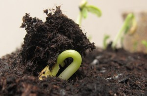 bean germinating, cottage garden, gardening blog