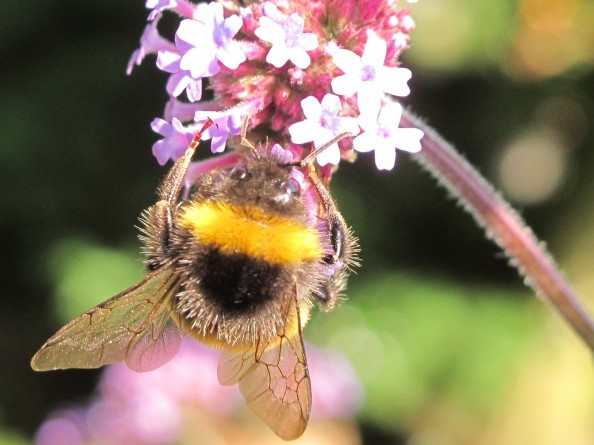 bee verbena, cottage garden, gardening blog