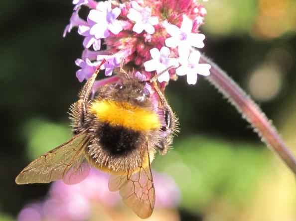 bee verbena, cottage garden, gardening blog