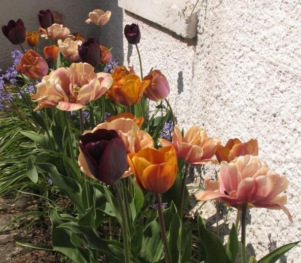 brandy snap mix, cottage garden, gardening blog