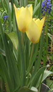 honky tonk tulip, cottage garden, gardening blog