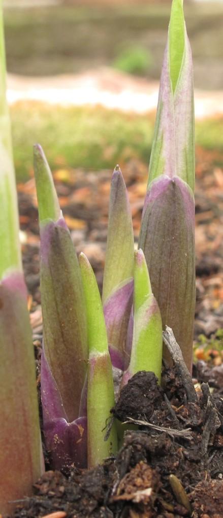hosta shoots, cottage garden, gardening blog