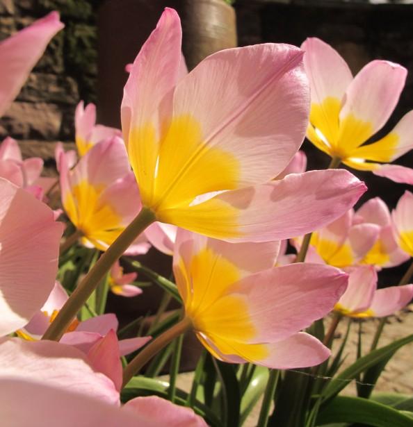 lilac wonder tulip, cottage garden, gardening blog