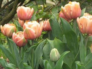 tulip groenland, gardening blog, cottage garden