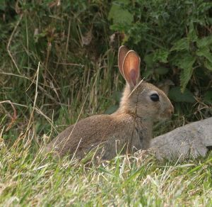 616px-Young_wild_rabbit