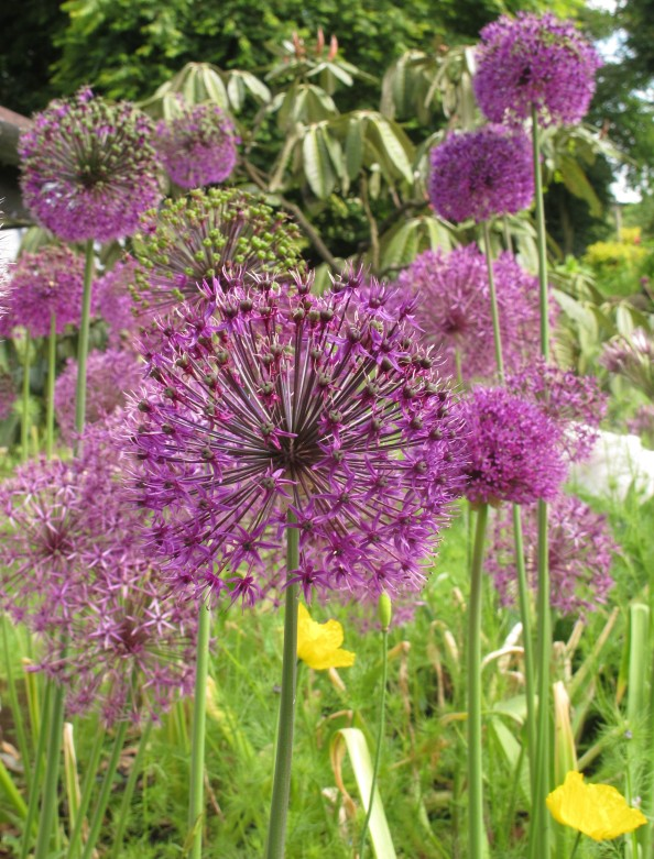 allium bed, cottage garden, gardening blog
