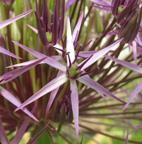 allium cristophii, cottage garden, gardening blog