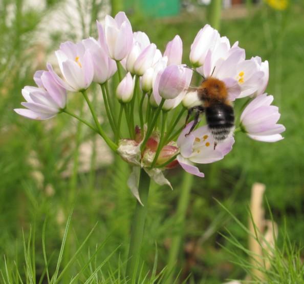 allium roseum with bee, cottage garden, gardening blog