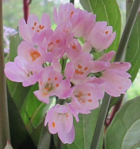 allium roseum, gardening blog, cottage garden