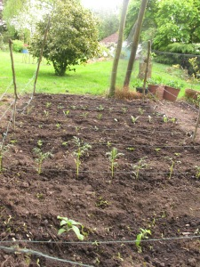 newly planted cutting patch, cottage garden, gardening blog