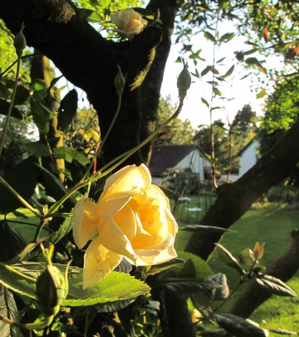 malvern hills rose back lit, cottage garden, gardenig blog