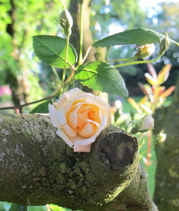 malvern hills rose, cottage garden, gardening blog