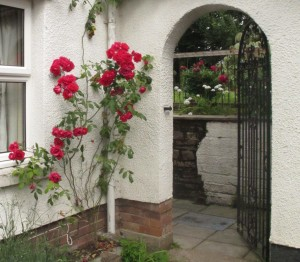 paul's scarlet rose, gardening blog