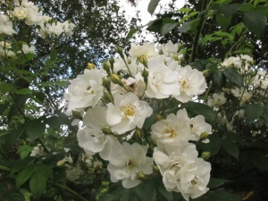 rambling rector rose, cottage garden blog