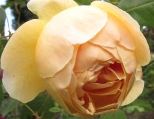 Jude the Obscure rose, cottage garden blog