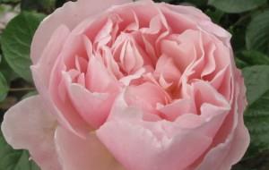 Harlow Carr rose, cottage garden blog