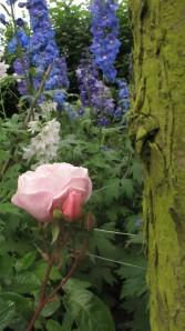 Gardeners Delight rose, cottage garden blog