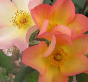 Alexandra rose, cottage garden blog