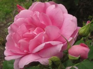 Cariad rose, cottage garden blog