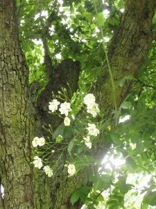 Bobby James rose, cottage garden blog