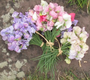 sweet peas, cottage garden blog
