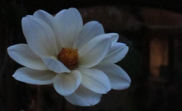 dahlia swan lake, night garden, cottage garden, gardening blog