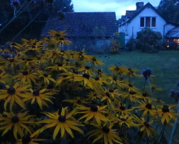rudbekia, night garden, cottage garden, gardening blog