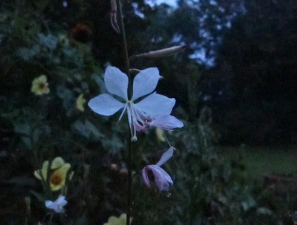 gaura lindheimeri, night garden, cottage garden, gardening blog