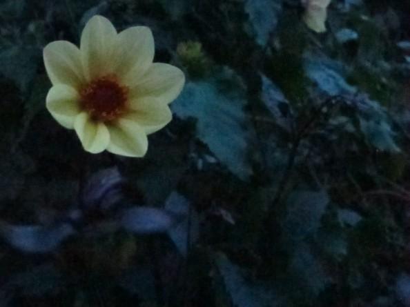 dahlia summertime, night garden, gardening blog, cottage garden