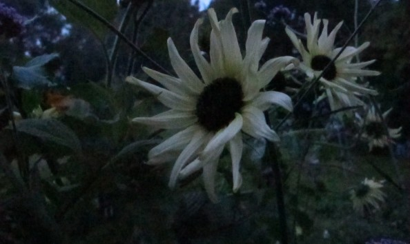 sunflower vanilla ice, night garden, cottage garden, gardening blog