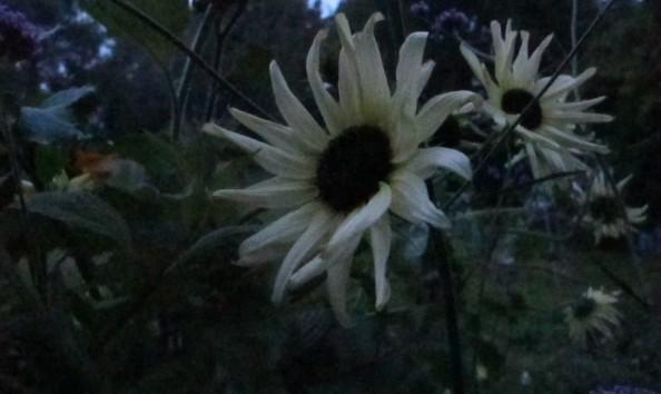sunflower vanilla ice, night garden, cottage garden, gardening blog