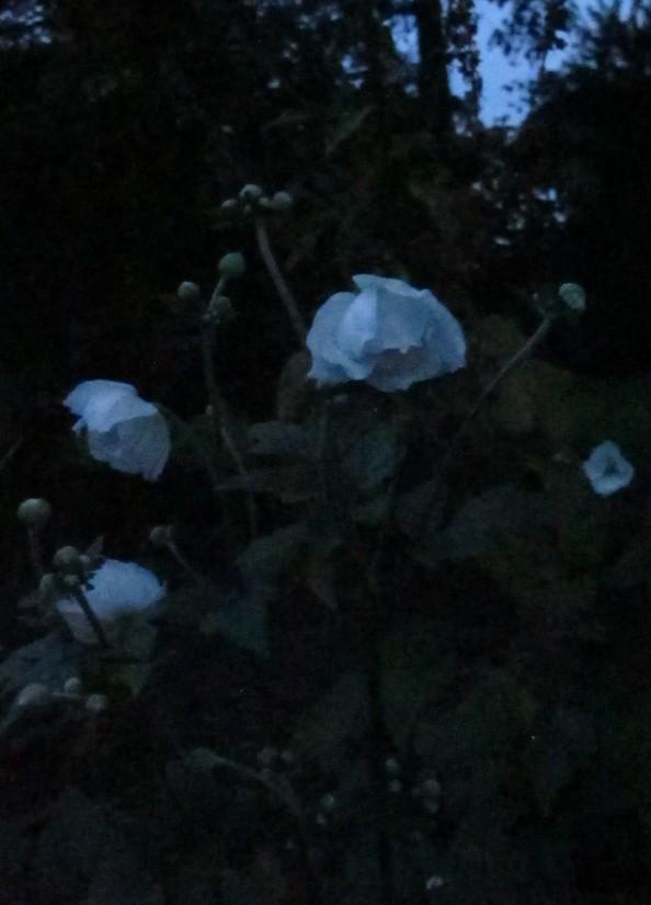 anemone wild swan, night garden, gardening blog, cottage garden