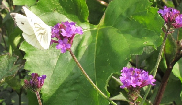 green-veined white on verbena rigida, cottage garden, gardening blog