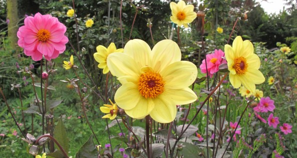 dahlia rosamunde, dahlia summertime, cottage garden, gardening blog