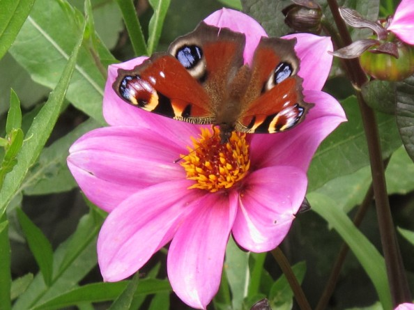 peacock butterfly on dahlia, cottage garden, gardening blog