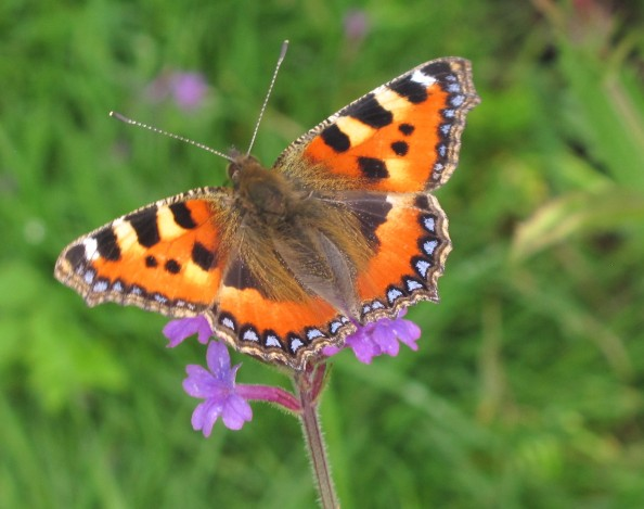 small tortoiseshell on verbena rigida, cottage garden, gardening blog
