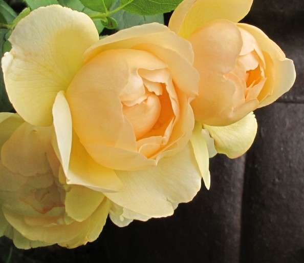 Rosa Wollerton Old Hall, cottage garden, gardening blog
