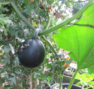 Little Gem pumpkin, cottage garden, gardening blog
