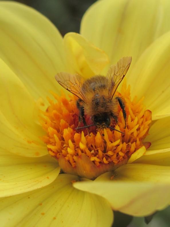 bee on dahlia, cottage garden, gardening blog