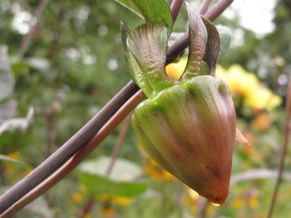 dahlia dead-head, cottage garden, gardening blog