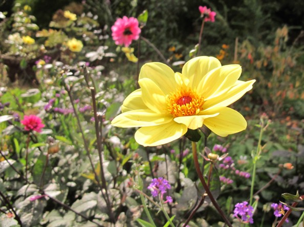 dahlias, cottage garden, gardening blog