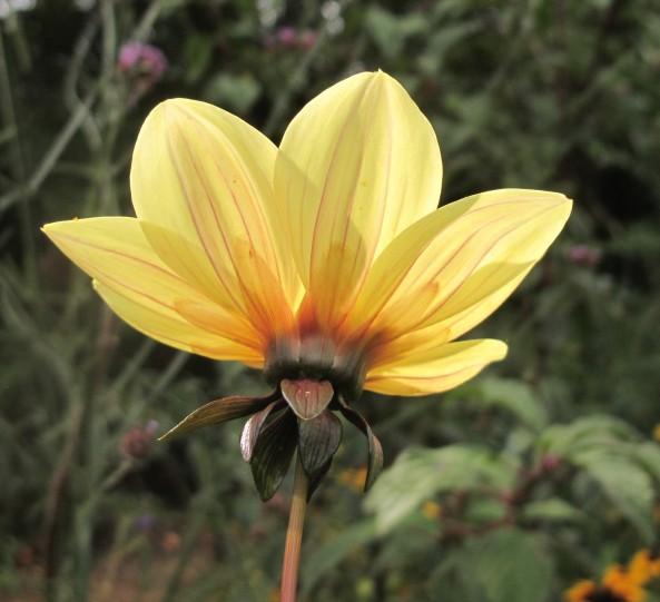 dahlia, cottage garden, gardening blog